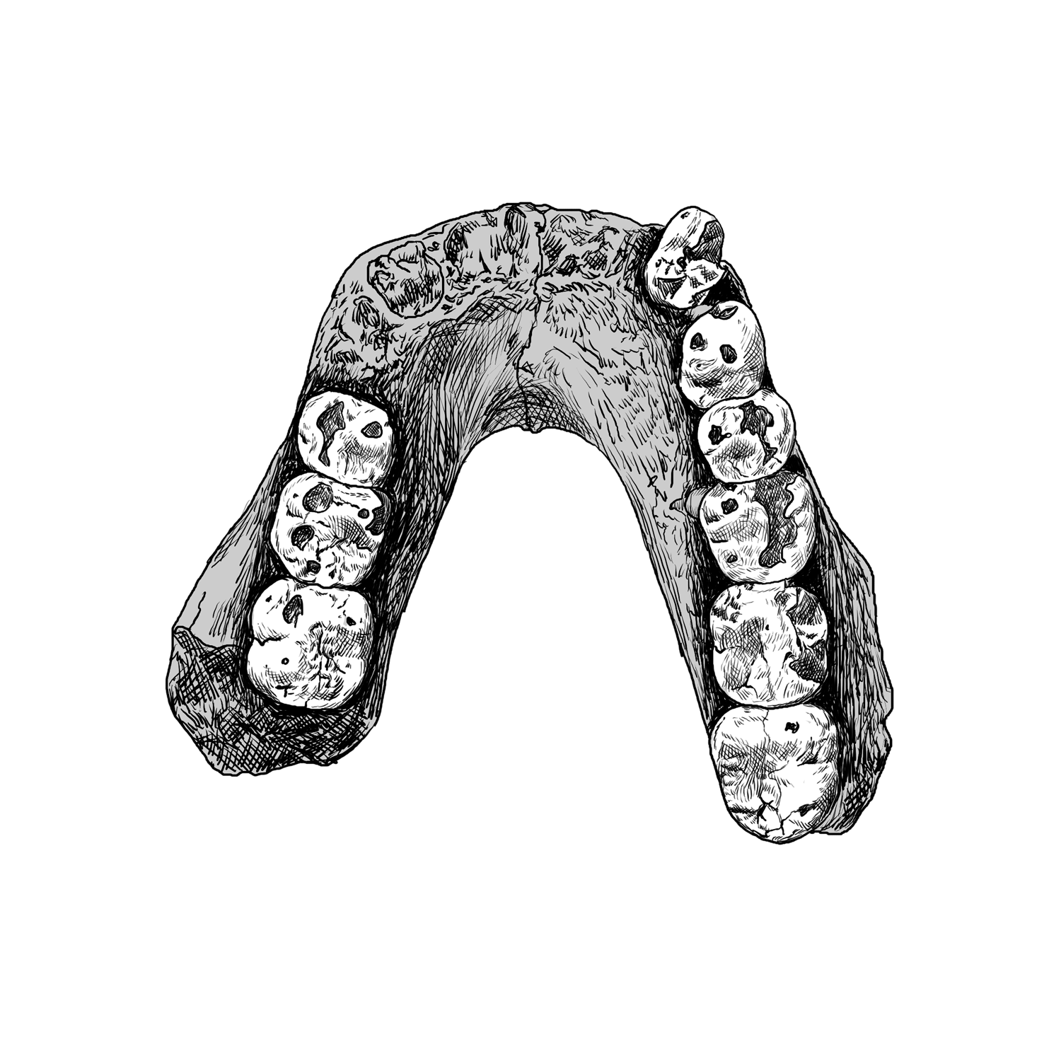 Drawing of Laetoli Hominid (LH) 4 mandible of Australopithecus afarensis